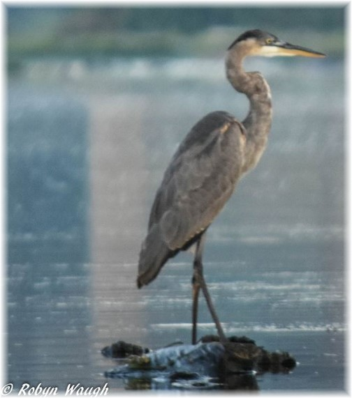 Blue Heron (photo by Robyn Waugh)