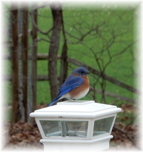 Bluebird (Photo by Doug Maxwell)