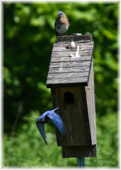 Bluebirds (photo by Robyn Waugh)