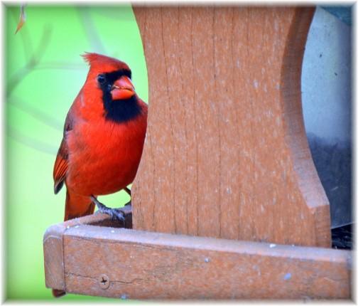 Cardinal (photo by Doris High)