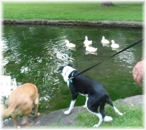 Donegal Springs ducks 8/11/13