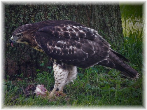 Hawk with prey near front yard oak 8/22/17 (Ester Weber)
