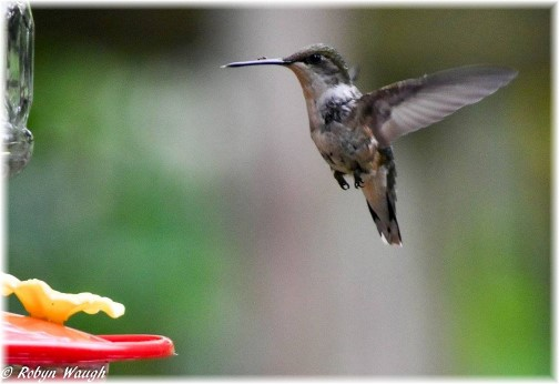 Hummingbird (photo by Robyn Waugh) (Click to enlarge)