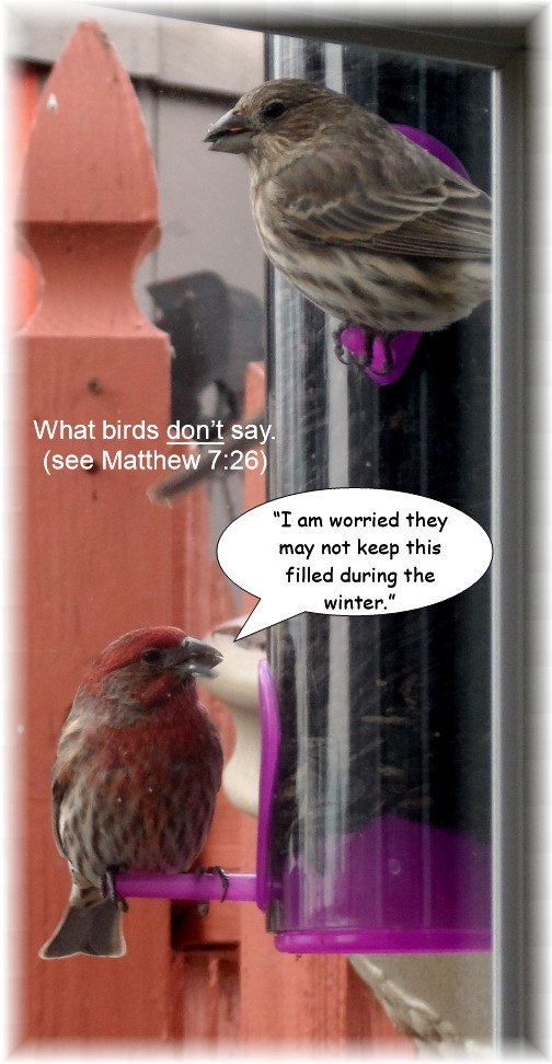 Purple finches 11/25/13