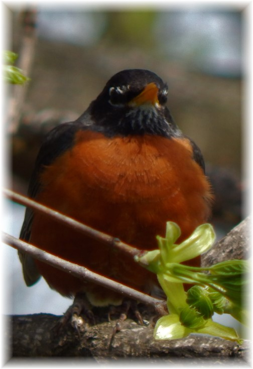 Robin 4/12/17 (Photo by Ester)