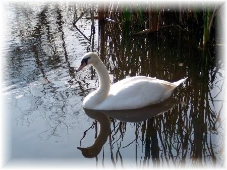 """Beauty"" swan among reeds"