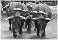 Ox yoke with oxen