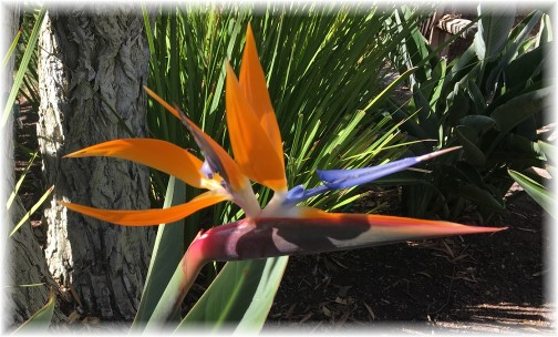 Bird Of Paradise flower bloom 10/18/16