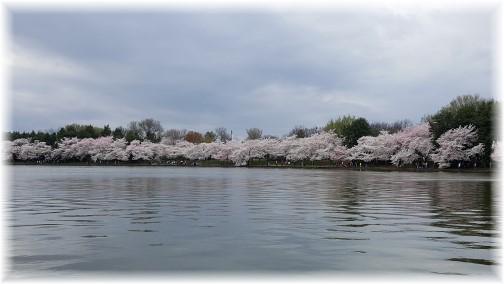 Washington cherry blossoms 3/25/16