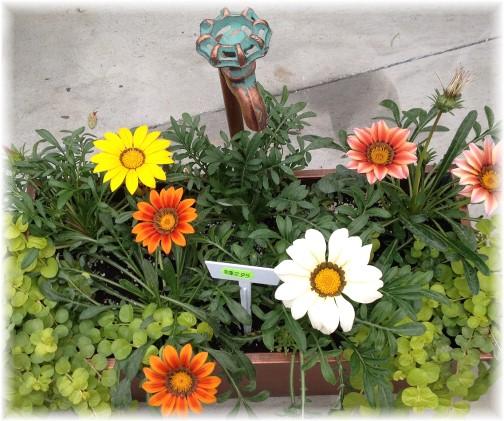 Arrangement at Amish greenhouse 5/26/15