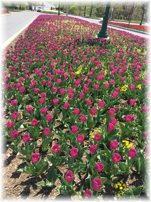 Hershey Hotel tulips 4/18/17
