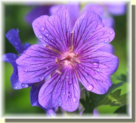 Purple malva with dew