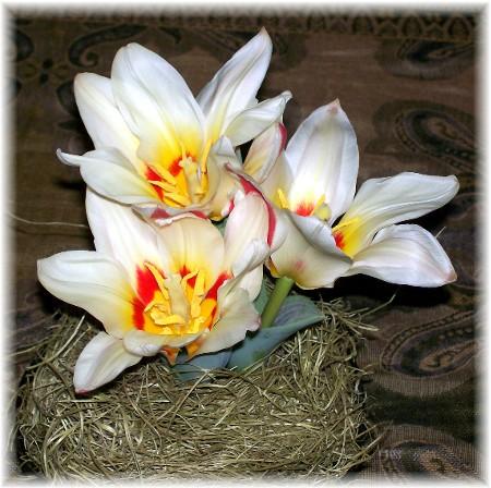 Star tulips