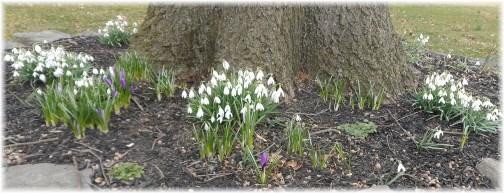 Snow drops 3/17/13