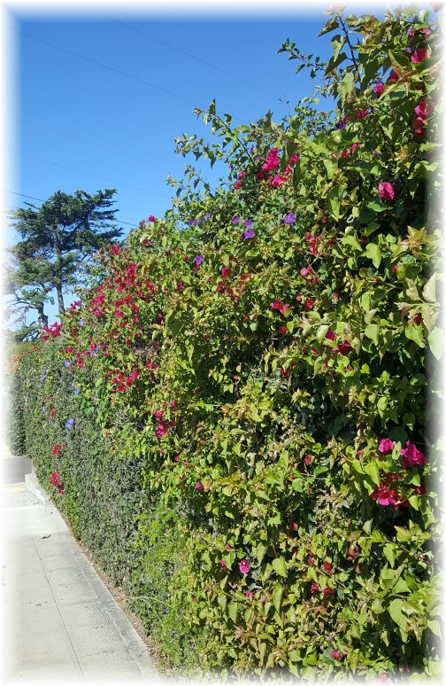 Flowers on hedge along Sunset Cliff 10/19/16