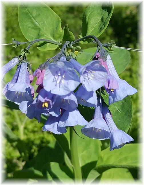 Swatara Creek wild flowers 4/18/17