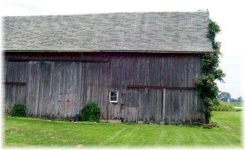 Trumpet vine on Indiana barn 8/4/12