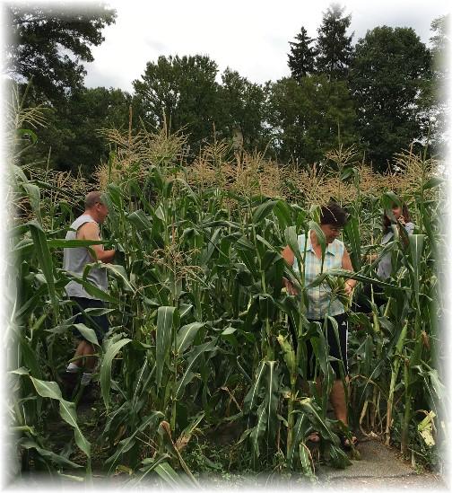 Picking sweet corn at Pierces 8/21/16