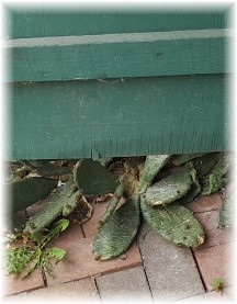 Cactus near barn door