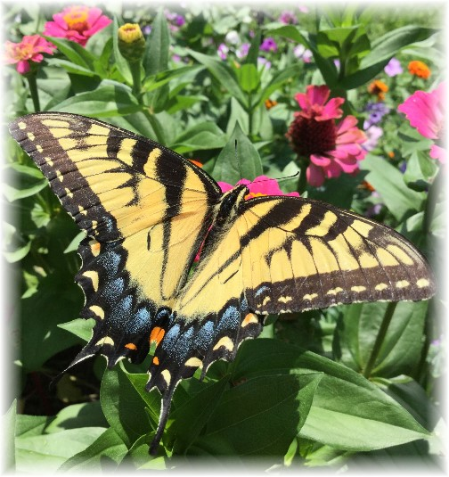 Swallowtail Butterfly in flower garden 8/6/15