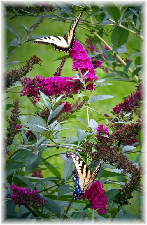 Butterflies 8/11/17 (Photo by Ester)