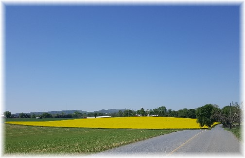 Canola field, Flory Road, Lancaster County, PA 4/28/17