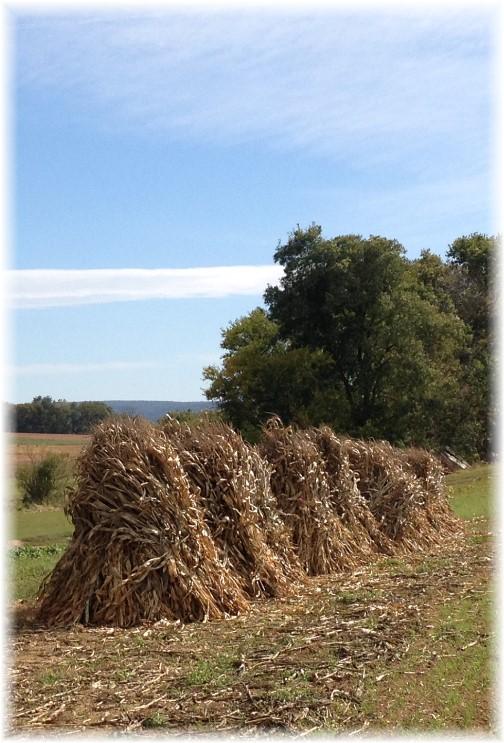 Corn shocks in Lancaster County PA 10/9/14