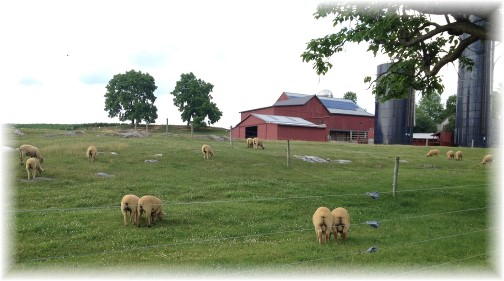 Sheep on Flory Road 6/27/14