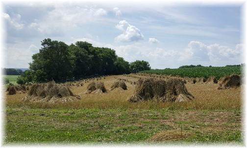 Old order Mennonite wheat shocks, Lancaster County, PA 6/30/16