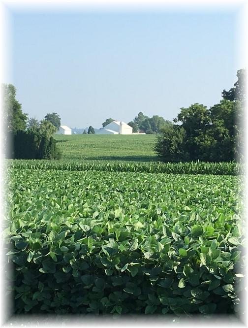 Soybean field 7/19/17