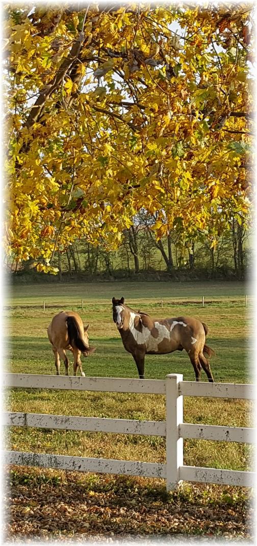 Horses along Trout Run Road 11/3/17