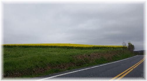 Yellow fields in Lebanon County PA 4/25/17