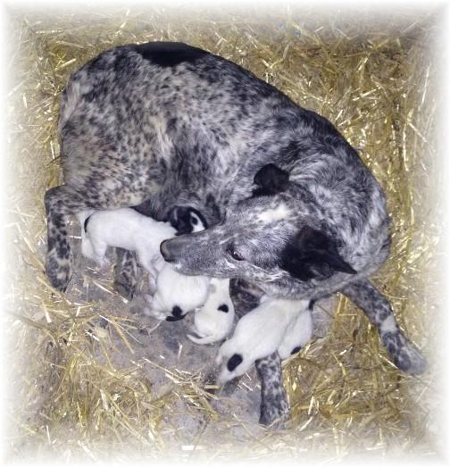 Blue Heeler with new pups 4/23/15
