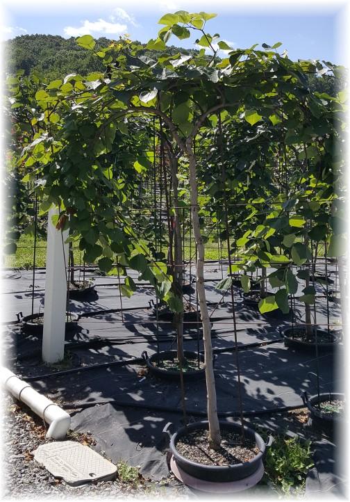 Eaton Farms heart shaped trees 9/7/16