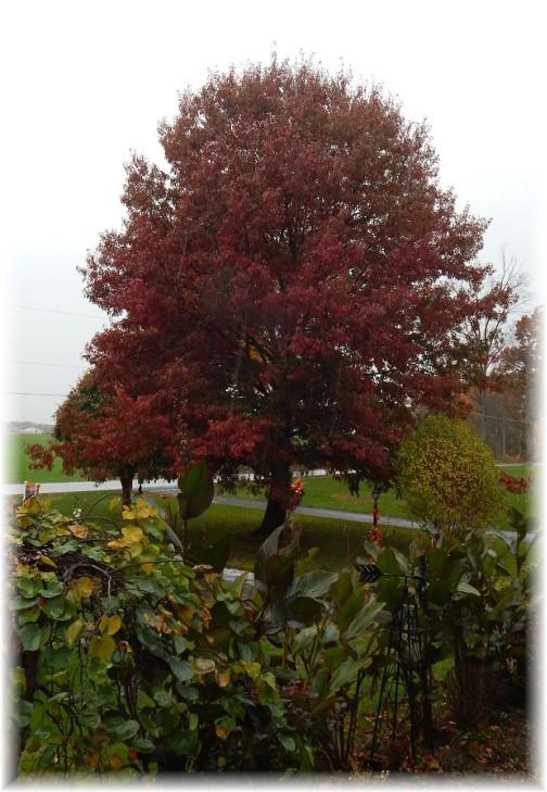 Front lawn oak 11/7/17 (Photo  by Ester)