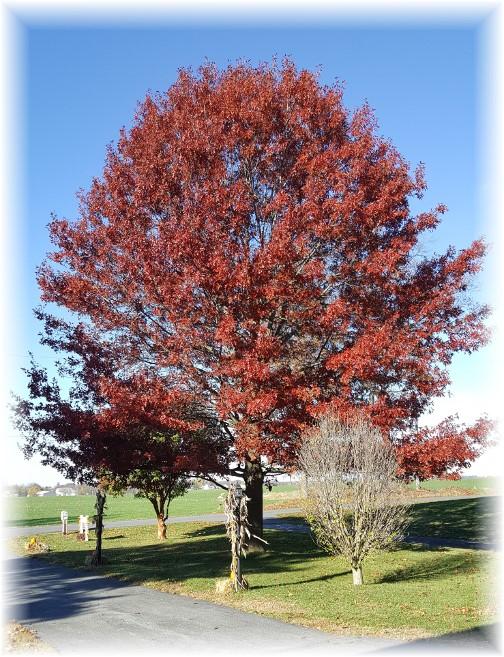 Front yard oak 11/10/16