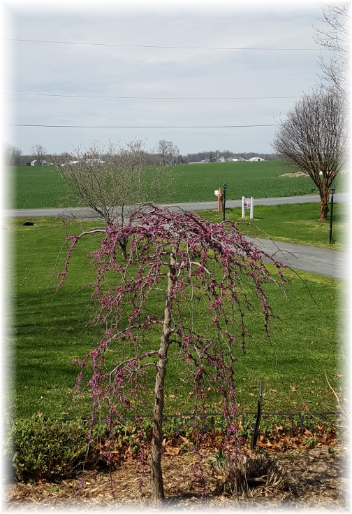 Pink Heartbreaker redbud tree 4/6/16