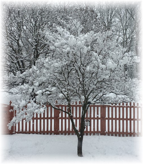 Snowy dogwood tree 2/9/16