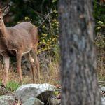 Two deer found dead in Esopus of bug-transmitted disease, DEC says 💥😭😭💥