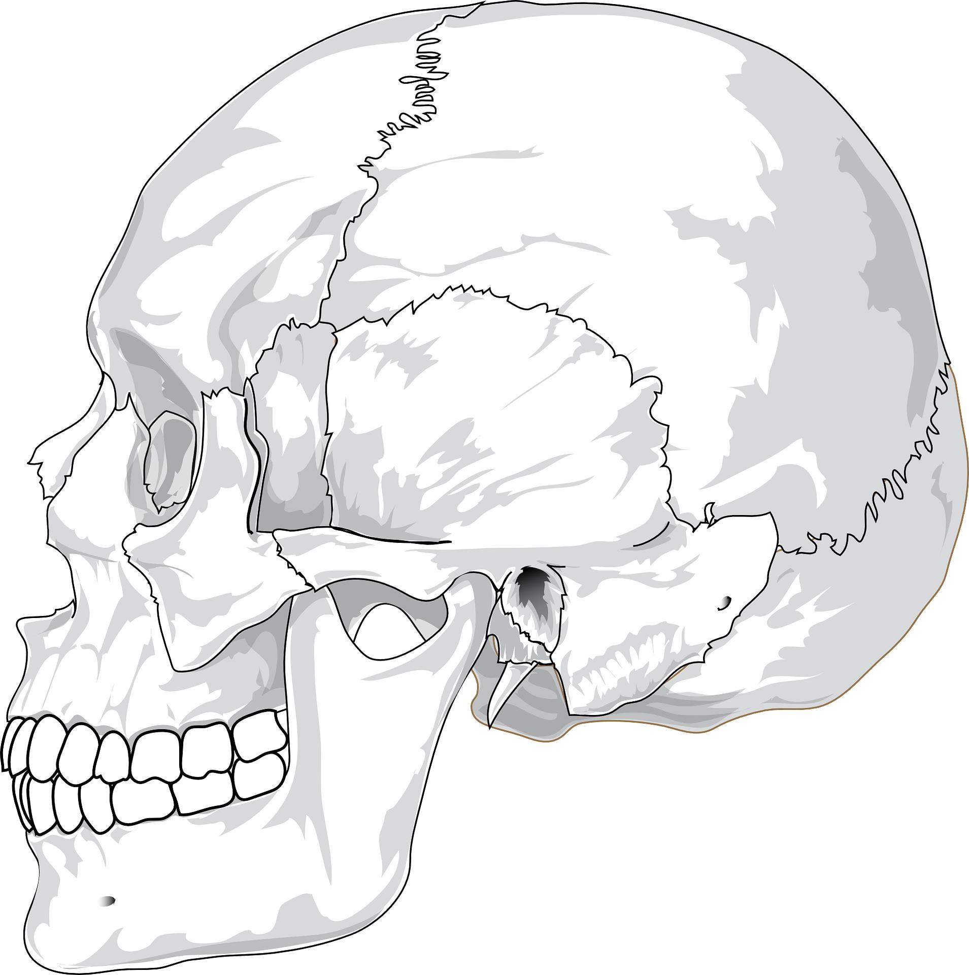 cranium vector-skull outline