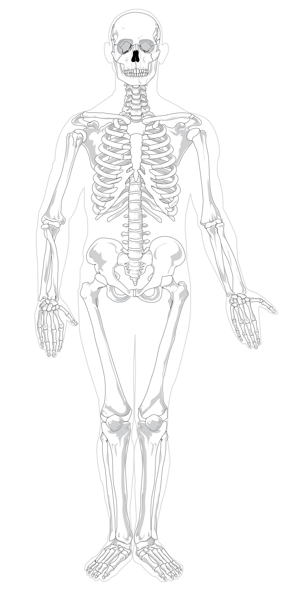 human skeleton-cartoon skull vector