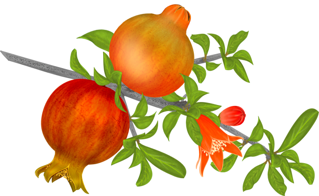 Free Pomegranates Vector PNG (13)