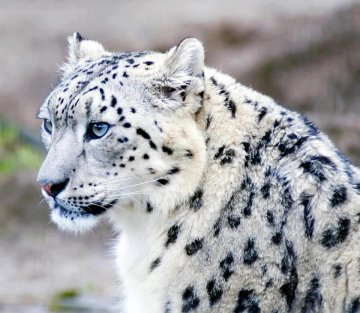 The Women in Spiti Valley who are Saving the Snow Leopard