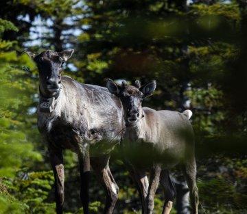 The Caribou Guardians