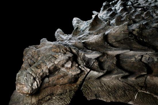 Petrified remains of Nodosaur