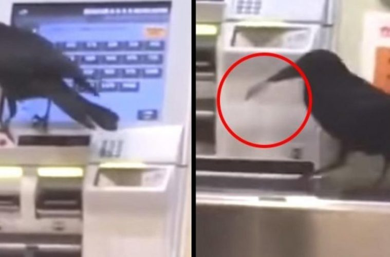 Crow using a credit card to buy a train ticket