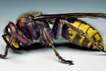 Hornet (image by PiccoloNamek CCSA3 Licence)