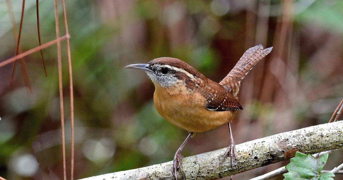 Carolina Wrens Appearing With Increasing Frequency In Area