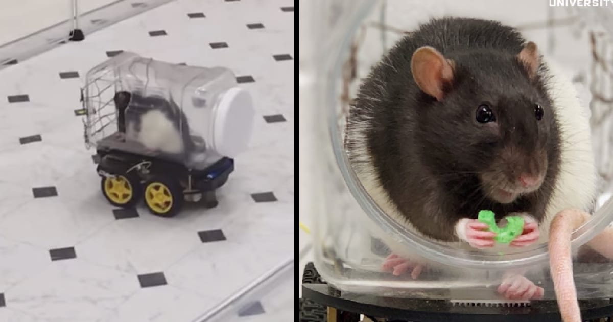 Scientists Say That Driving Tiny Cars Helps Rats Relax