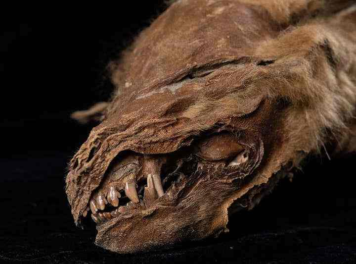 57,000-Year-Old Wolf Pup Discovered in Yukon Permafrost